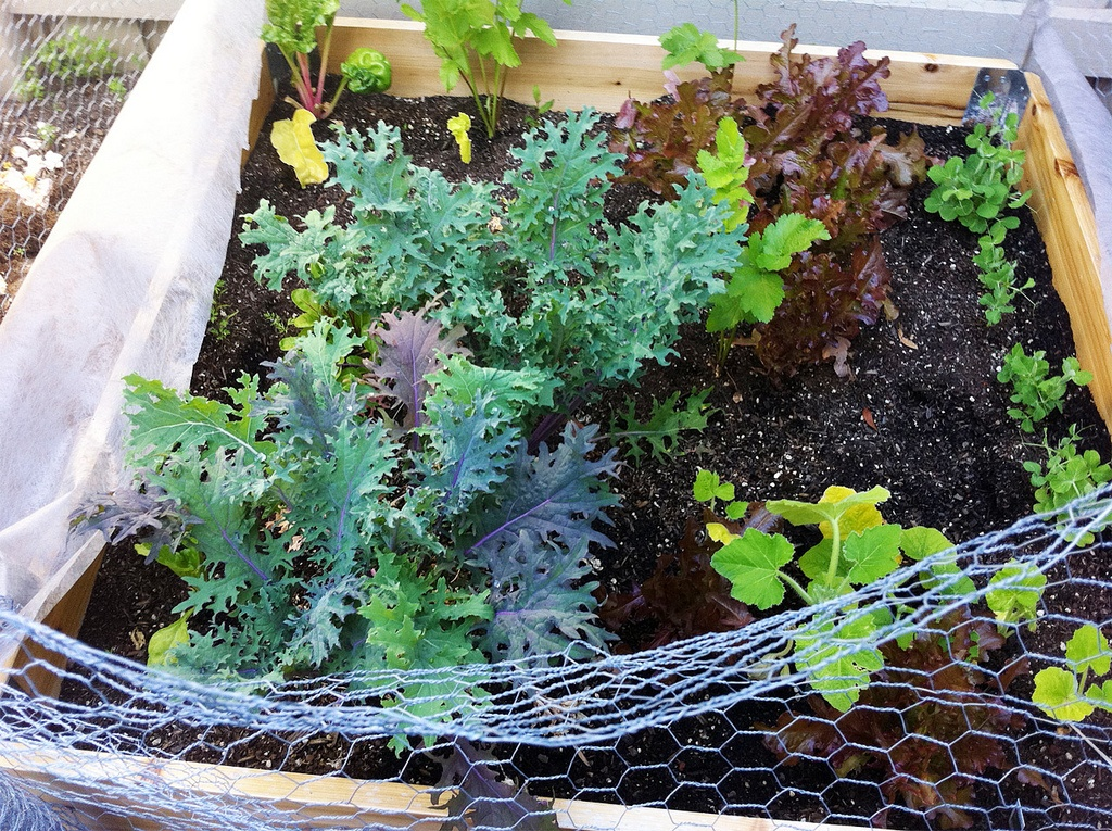 how to grow kale indoors