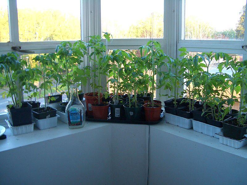 indoor tomato garden