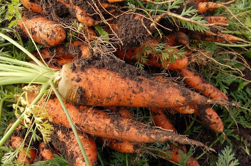 best fertilizer for carrots