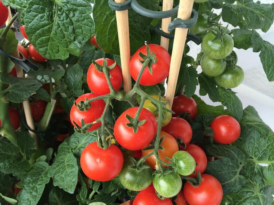 tomato spacing