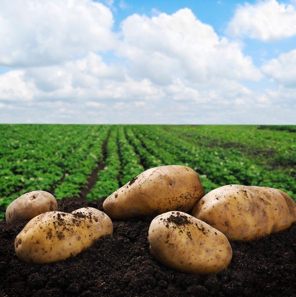Potatoes Crop