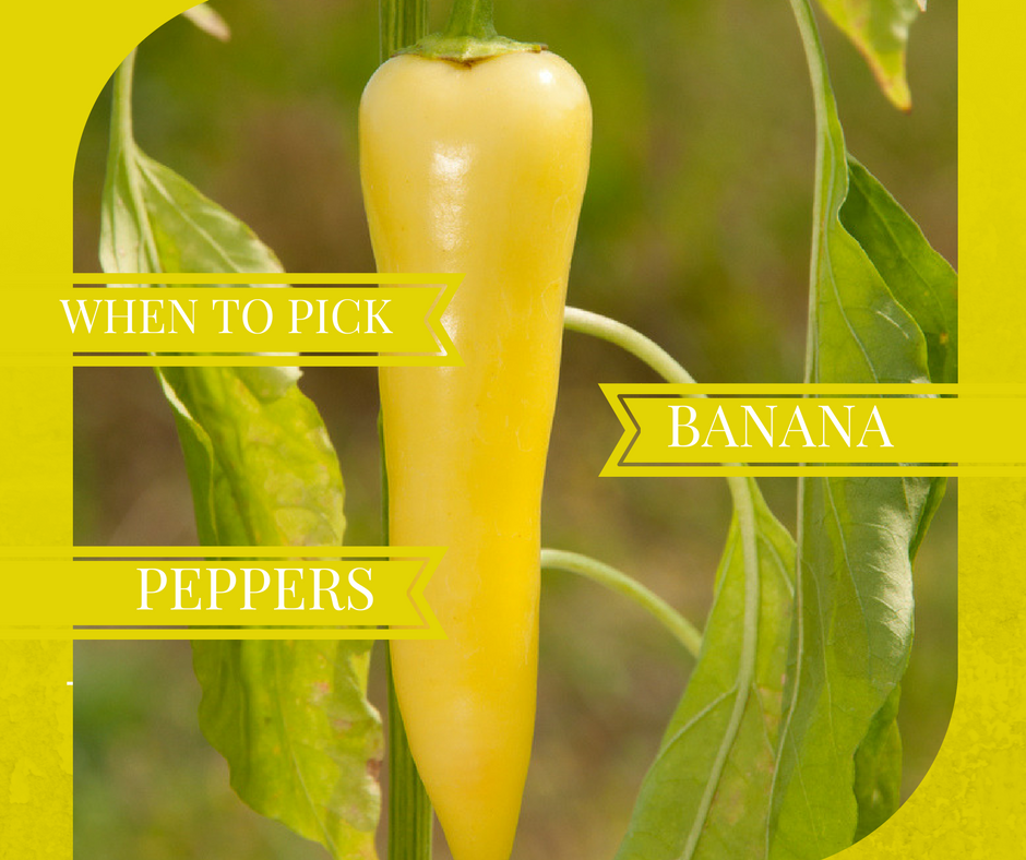When To Pick Banana Peppers Sproutabl