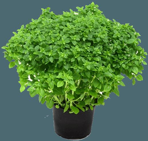 growing herb gardens