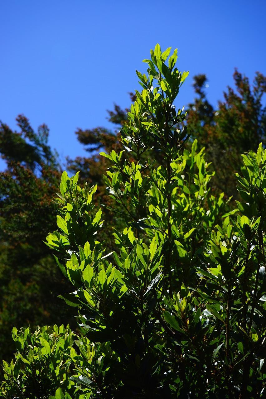 growing bay laurel