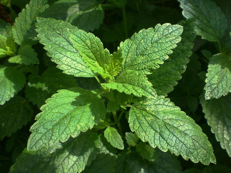 growing lemon balm