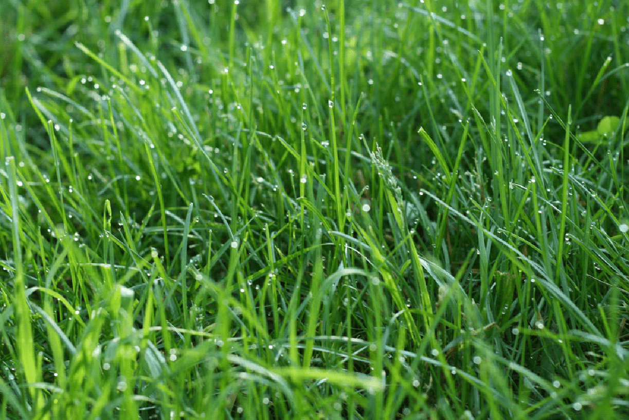 best grass seed for overseeding