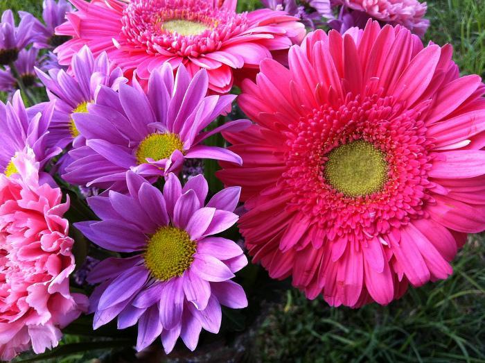 Barbeton daisy