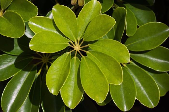 arboricola