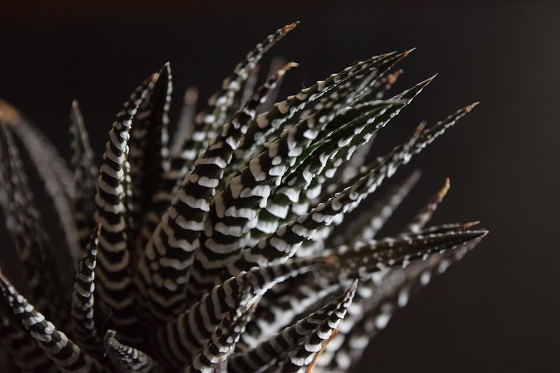Haworthia Attenuata (Zebra Plant)