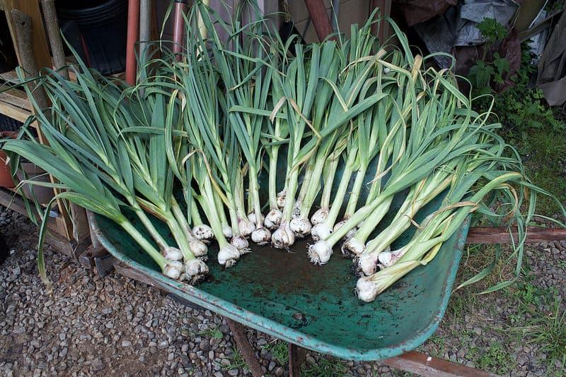 garlic from cloves