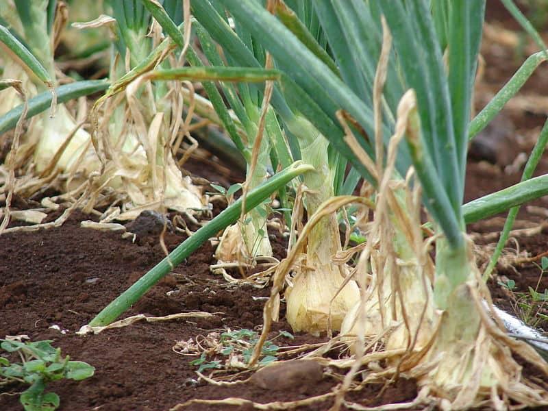 onion plant