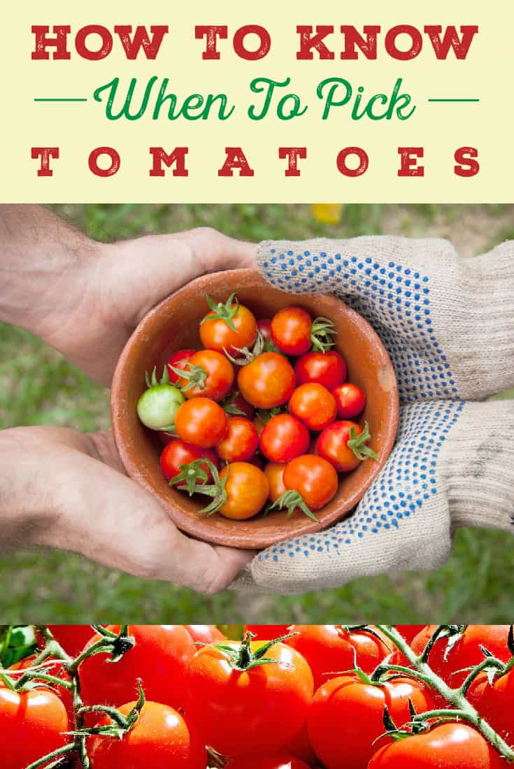 83331 Perrin Carrell Picking Tomatoes Pinterest Image 052217