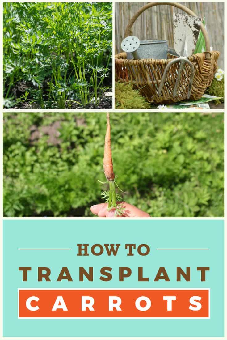 83354 Perrin Carrell Transplant Carrots Pinterest Image 052417