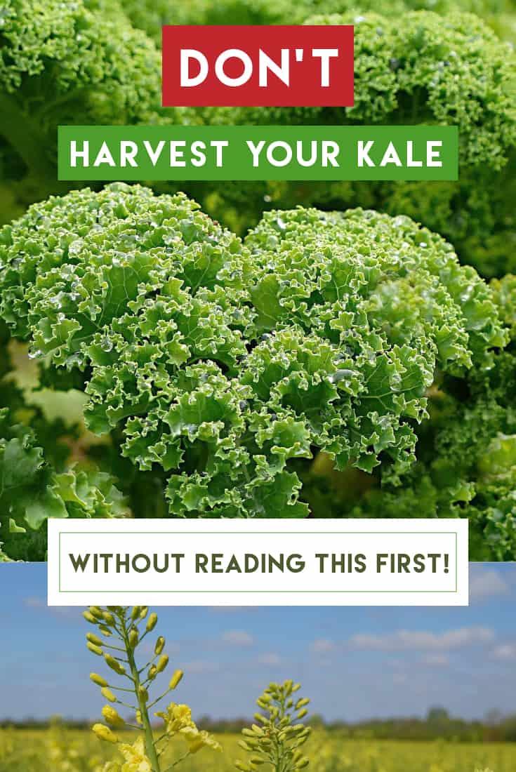 83360 Perrin Carrell Harvest Kale Pinterest Image 052617