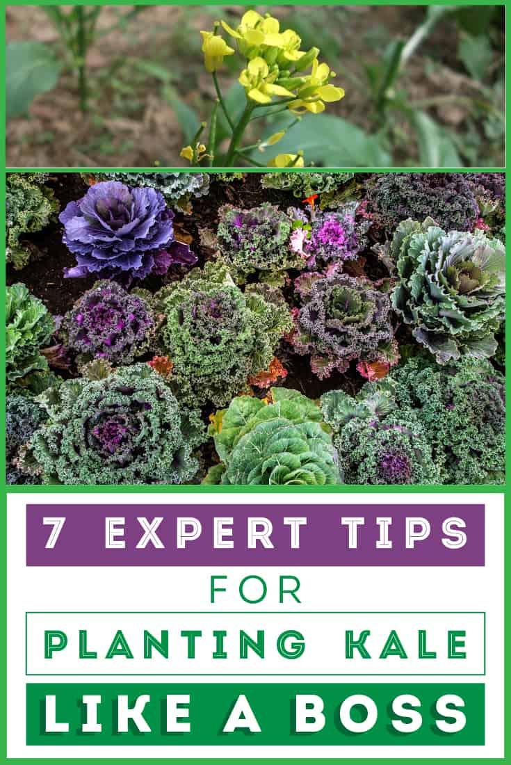 83365 Perrin Carrell Planting Kale Pinterest Image 052417