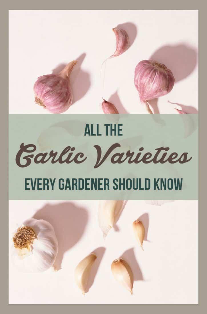 83374 GarlicVarieties 060617 01