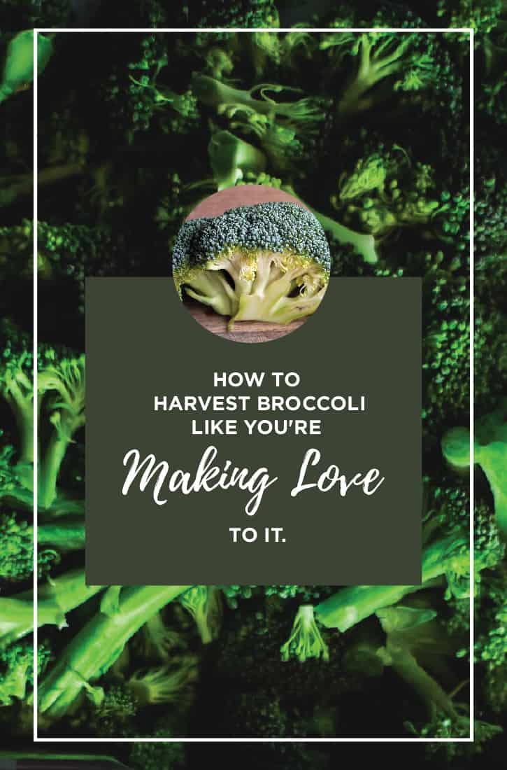 83381 harvest broccoli 060817