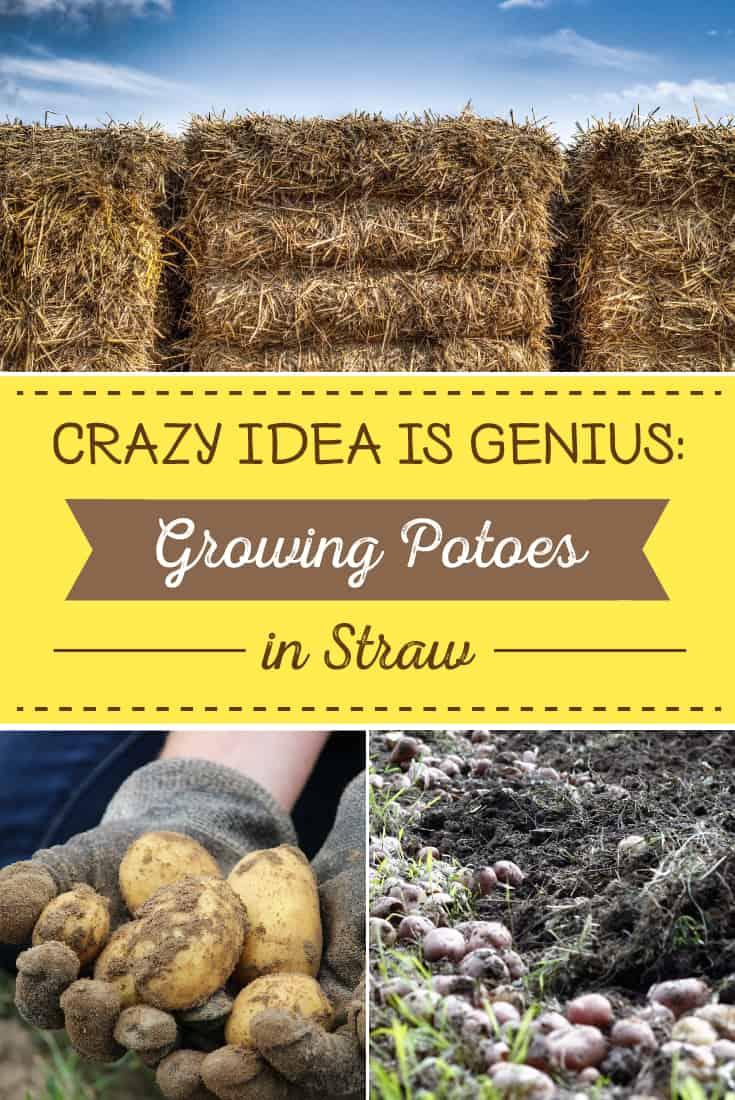 83392 Perrin Carrell Straw Potatoes Pinterest Image 061417
