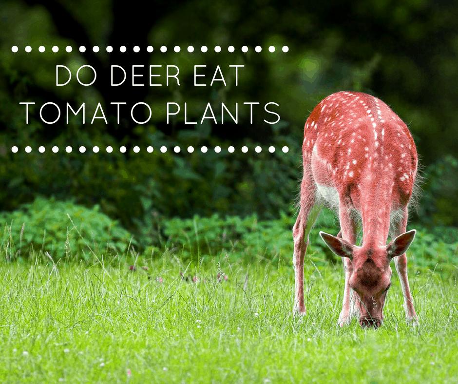 Do Deer Eat Tomato Plants
