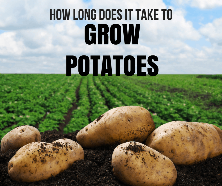 How Long Does It Take ToGrow Potatoes