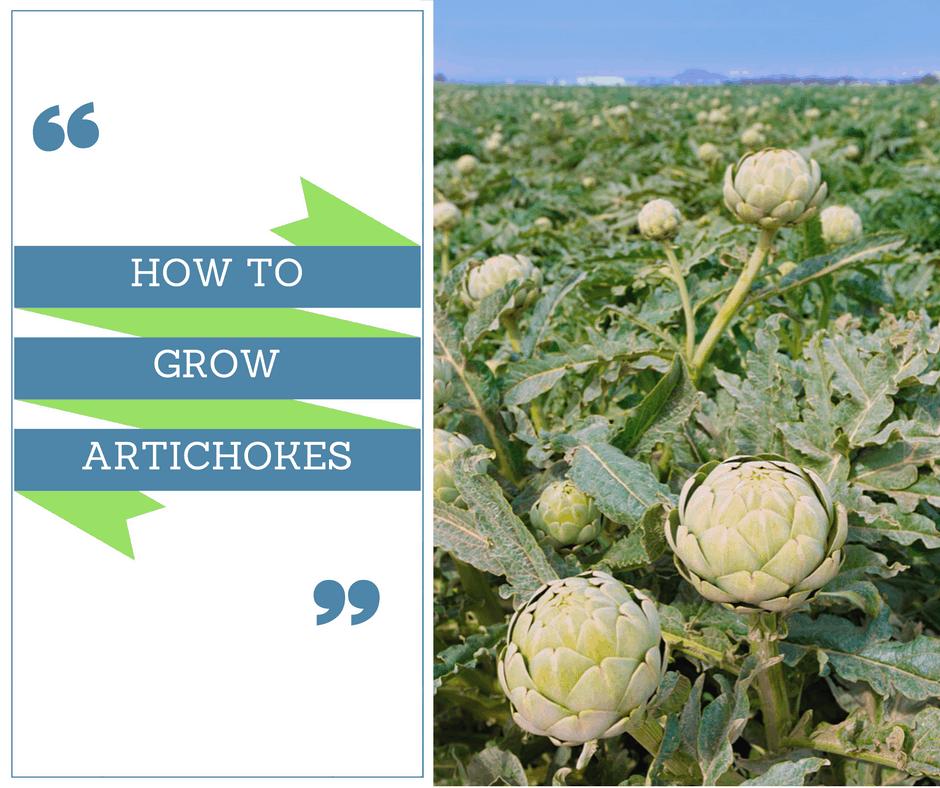 How To Grow Artichokes