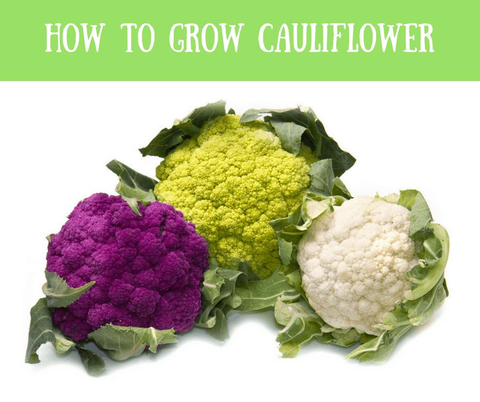 How To Grow Cauliflower 1