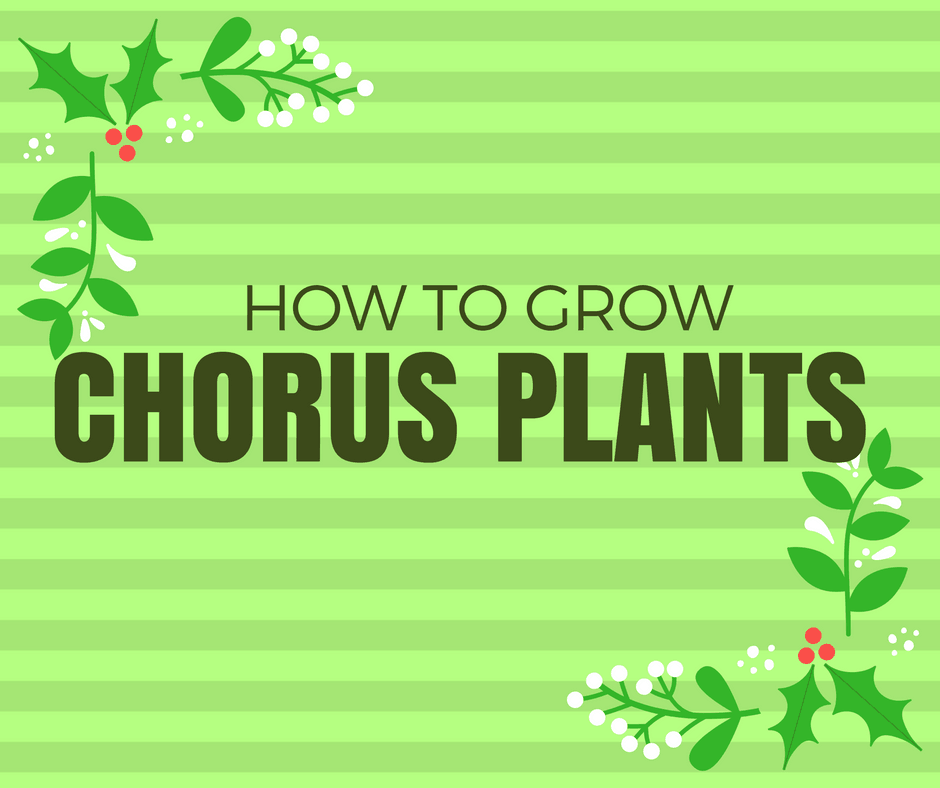 How to grow chorus plants