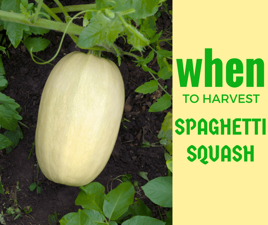 When To Harvest Spaghetti Squash Properly Rooted