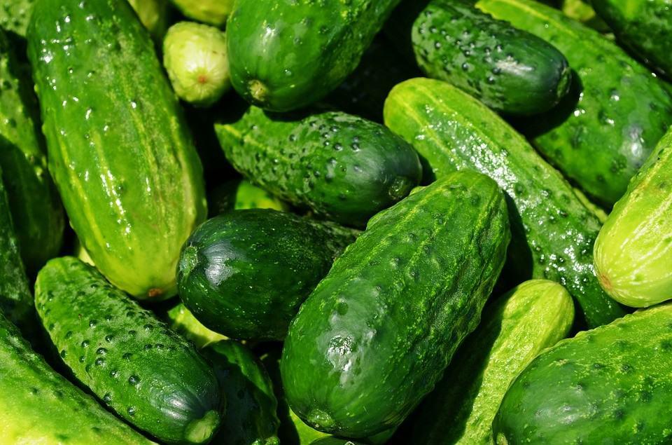 growing cucumbers indoors