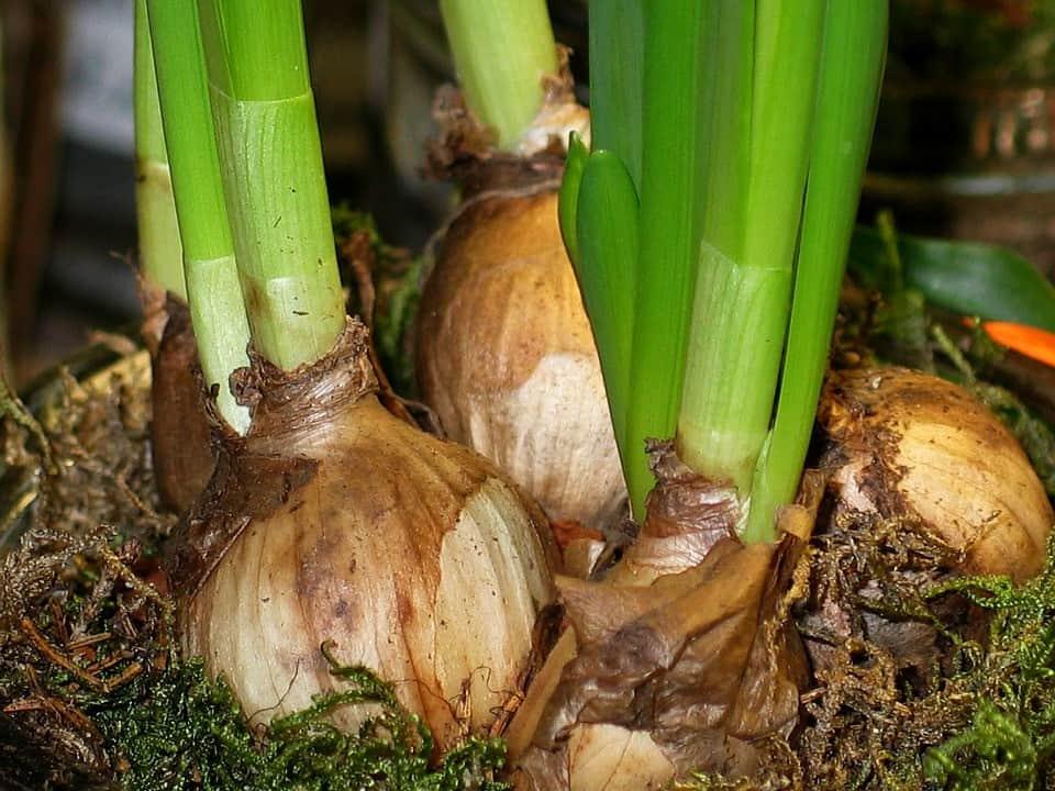 onions indoors