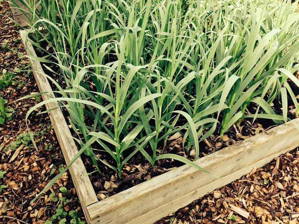 best fertilizer for garlic