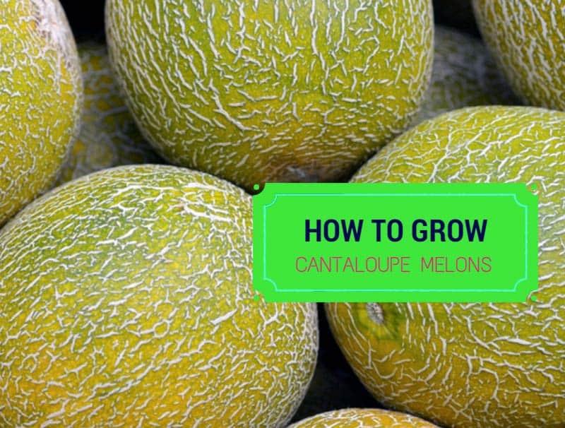 how to grow cantaloupe