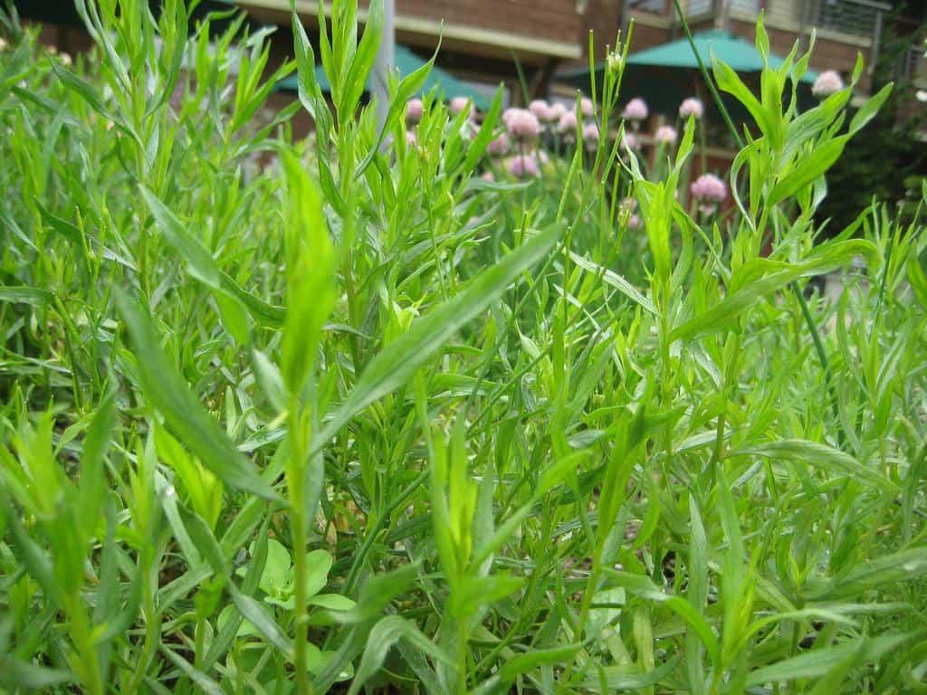 growing tarragon