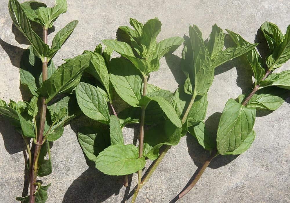 growing spearmint
