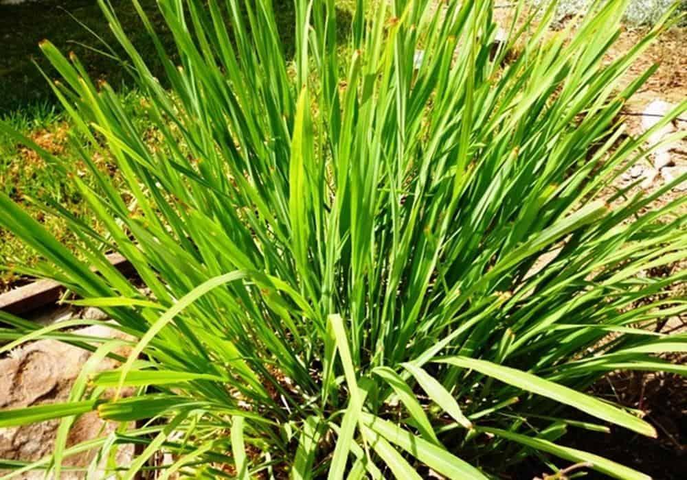 growing lemongrass