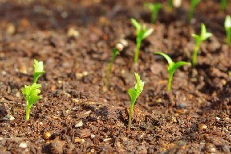 growing coriander