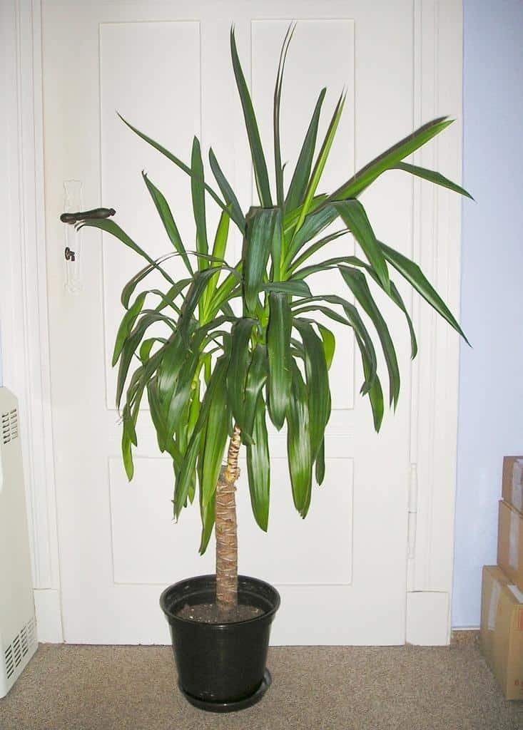 Best Indoor Trees Low Light