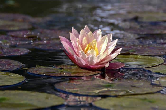 best pond plants