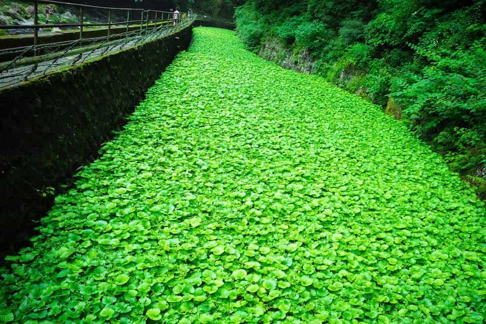 growing wasabi