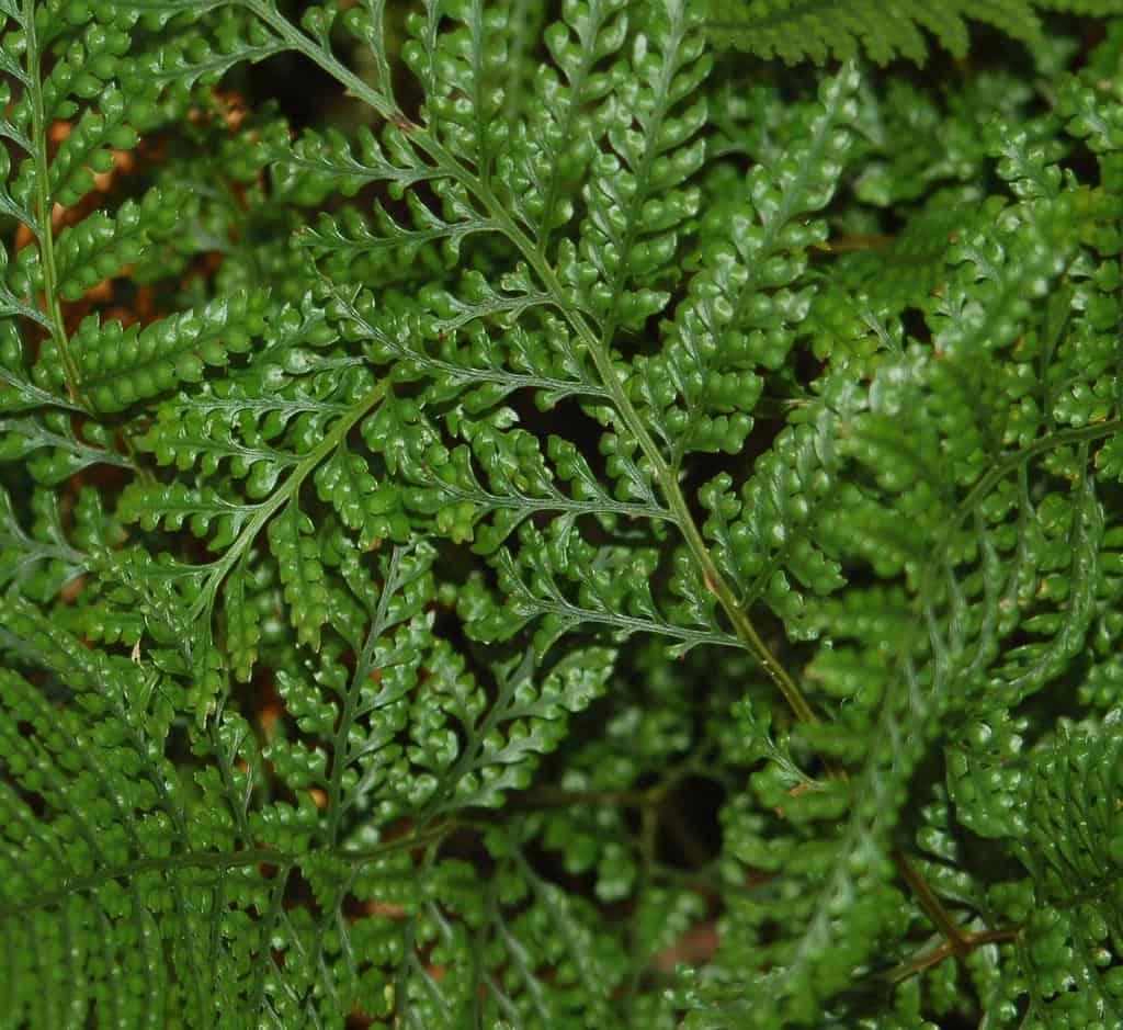 rabbit foot fern