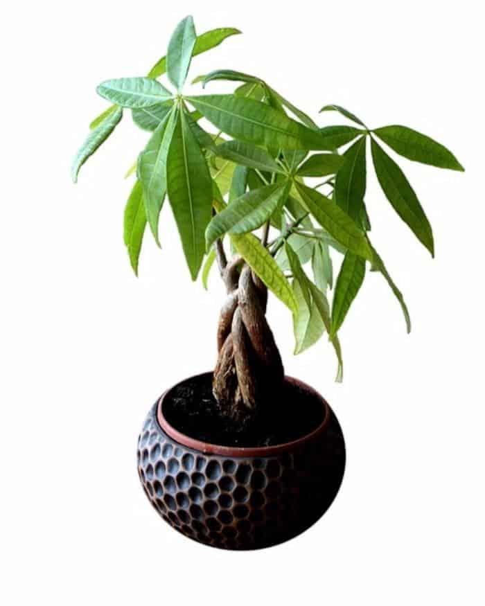 Pachira Money Tree