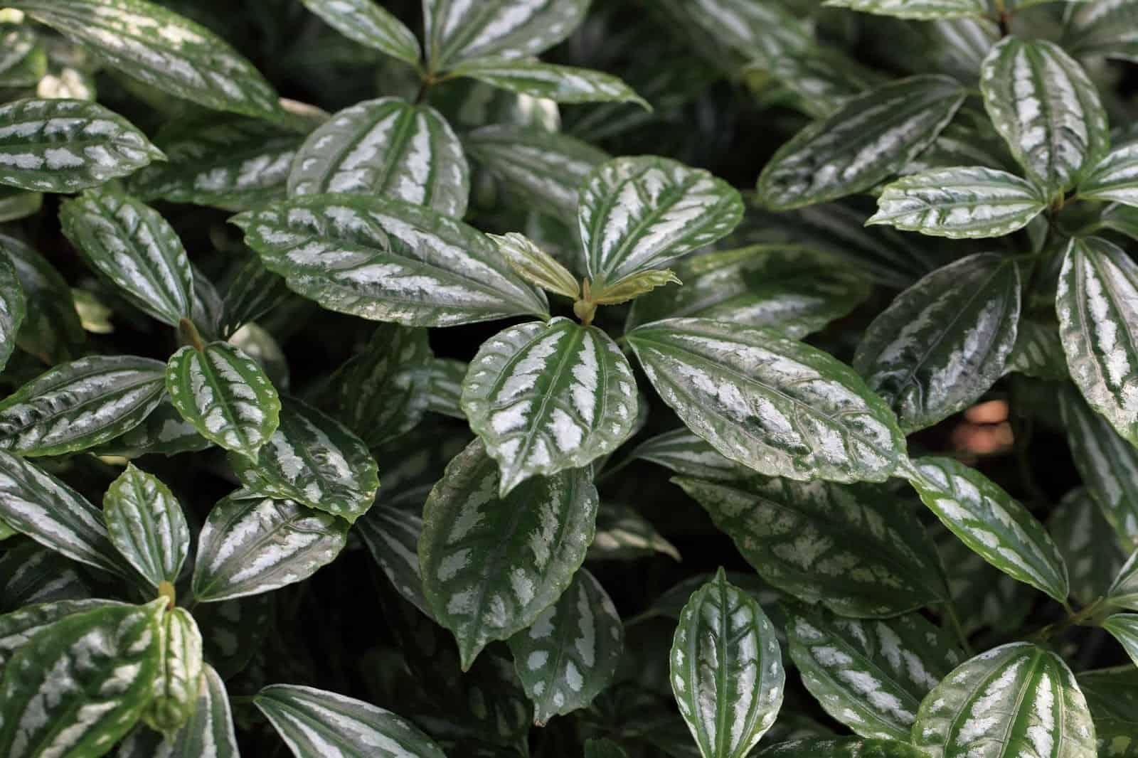 Pilea Cadierei (Aluminum Plant)