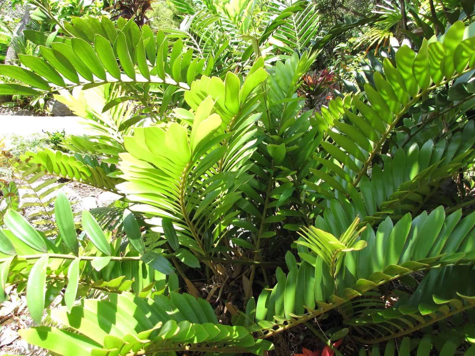 Zamioculcas Zamiifolia (Zanzibar Gem)