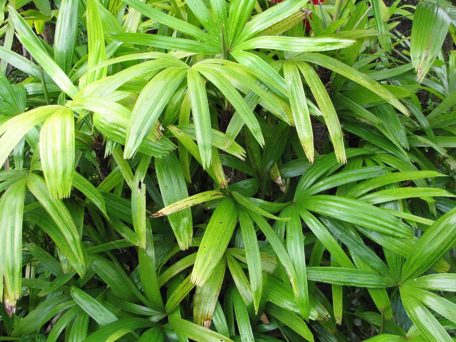 broadleaf lady palm