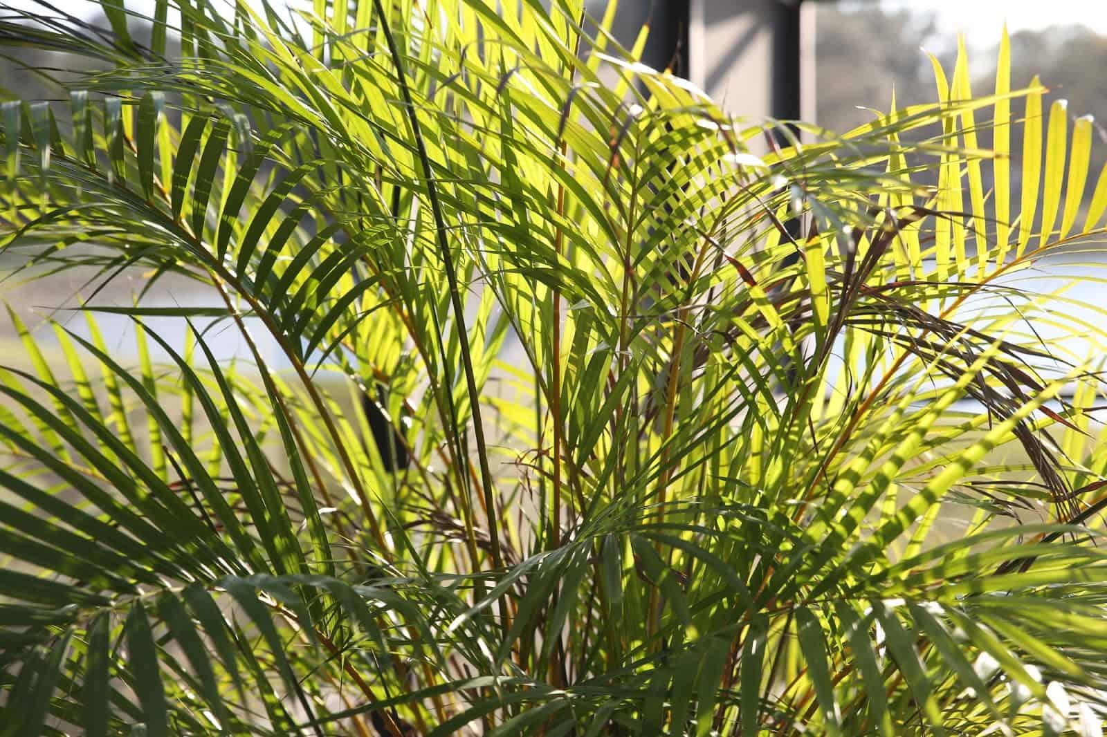 Ravenea (Majesty Palm)