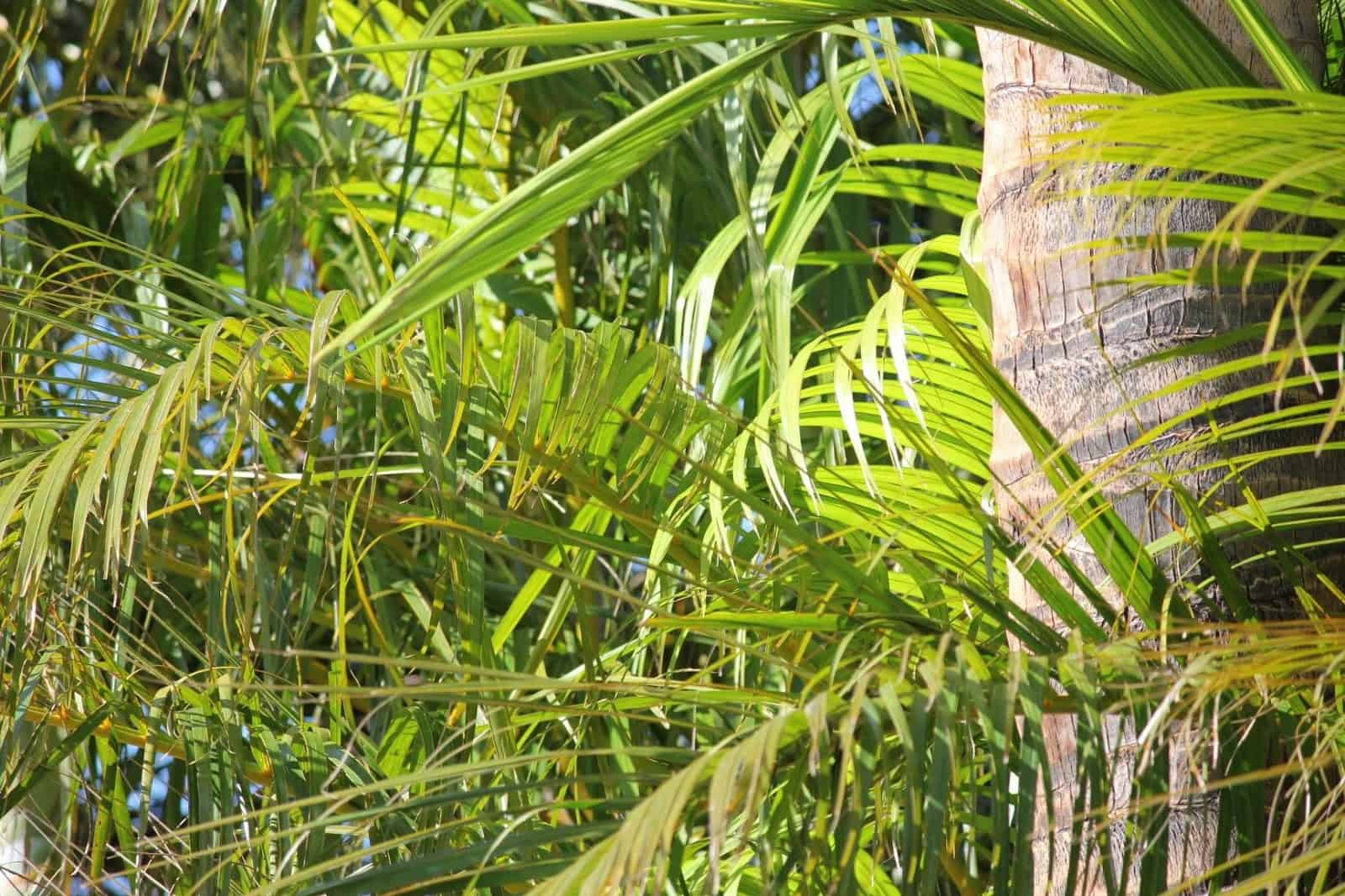 areca palms