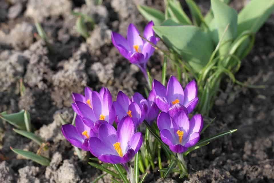 growing saffron