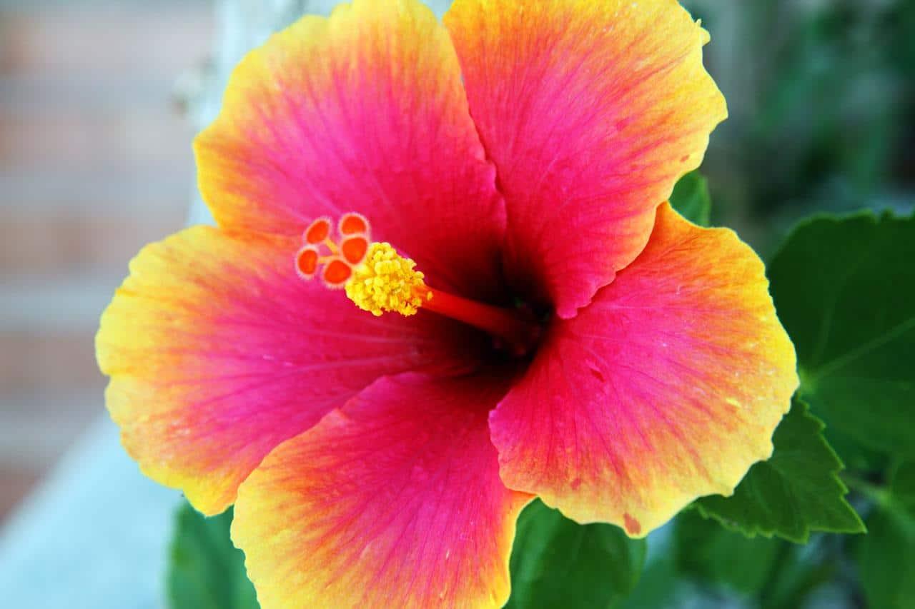hibiscus tree