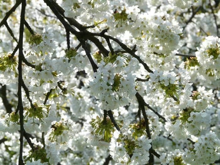 Best Ornamental Trees