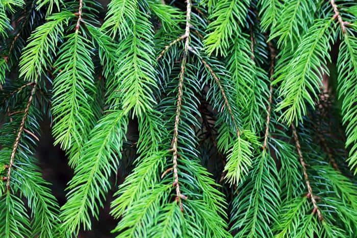 Best Evergreen Trees